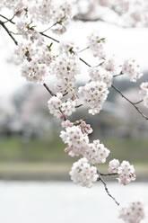 写真:角館の桜